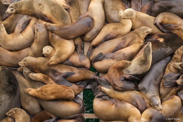Sea Lions of Santa Cruz